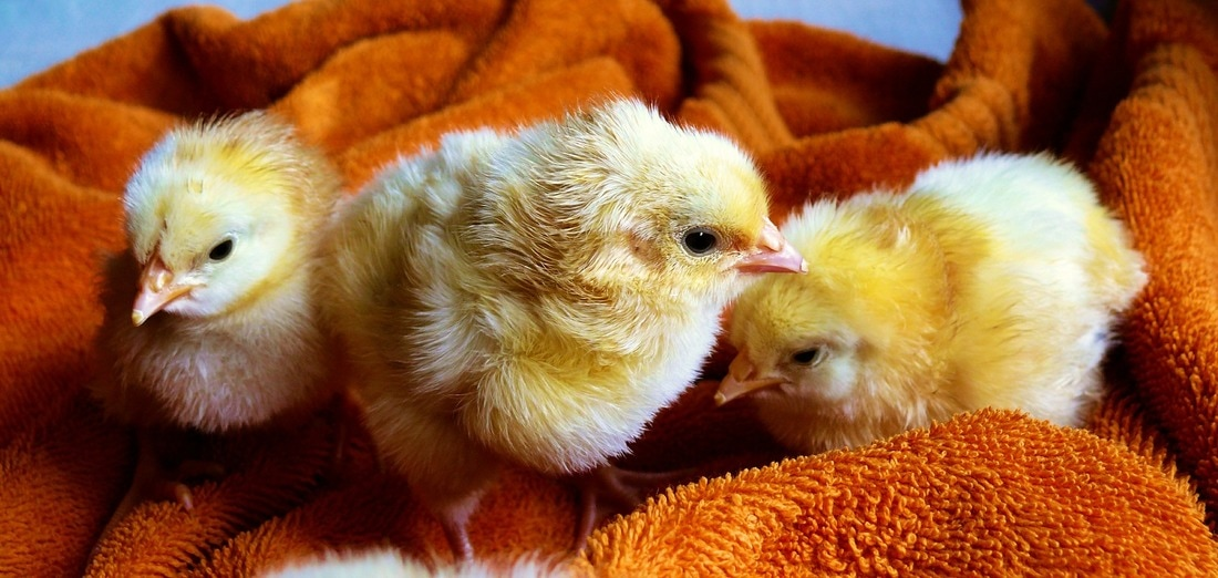 baby chicks on a towel